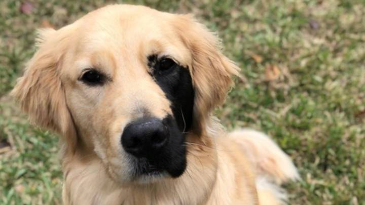 Adorable Golden Retriever Has Thousands Of Instagram Followers Due To Unusual Markings