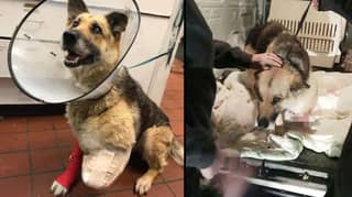 Dog Chews Her Own Leg Off After Owner Chains It To Fence Without Food