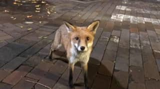 Three Aussie University Students In Hospital After Trying To Pet Fox