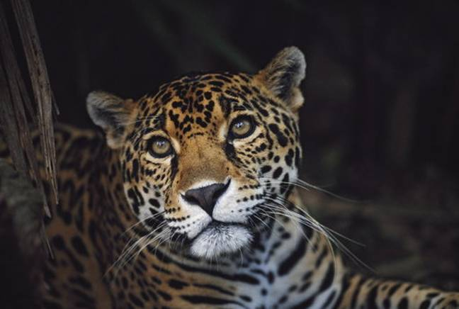 The jaguar is listed as 'Near Threatened'. Credit: PA