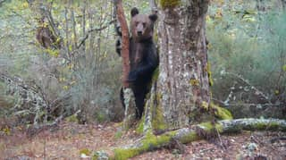 Brown Bear Spotted In Spanish National Park For First Time In 150 Years