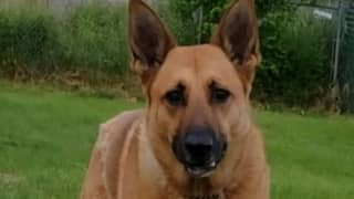 Police Dog Is Still In Shelter 2 Years After Rejection From Force