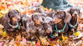 Woman Spends £800 A Month On Outfits And Activities For Her Sausage Dog Squad