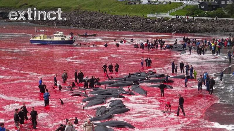 Sea Left Red As More Than 180 Whales Are Killed In Brutal Faroe Islands Event
