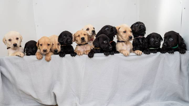 Labrador Gives Birth To One Of The Biggest Litters In History For The Breed
