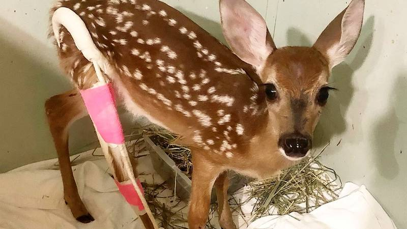 Adorable Baby Deer Sports Bright Pink Cast After Breaking Leg