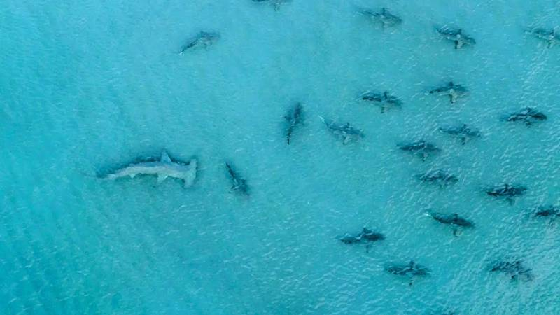 Drone Footage Shows Hammerheads Hunting Six-Foot Blacktip Sharks In Florida