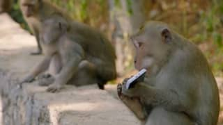 Rampaging Monkeys Turn Against Humans In Brutal Attacks