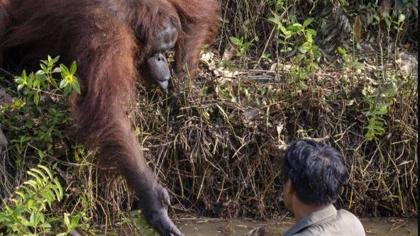 Photo Captures Orangutan Offering Forest Warden Its Hand As He Clears River Of Snakes