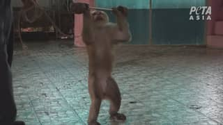 Heartbreaking Footage Shows Monkey In Thailand Being Forced To Lift Weights