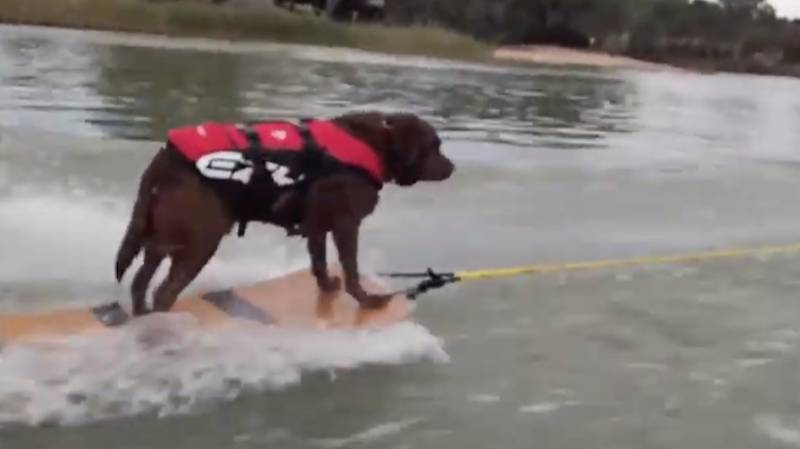 Aussie Family Teach Dexter The Labrador How To Waterski