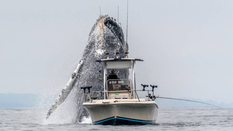 Incredible Footage Shows Humpback Whale Bursting Through The Sea Next To Fishing Boat